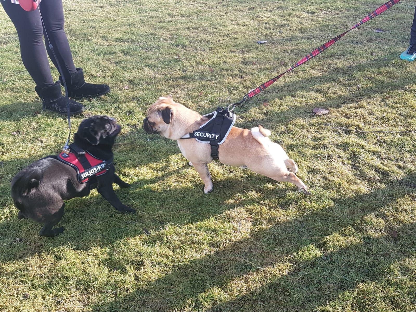 Pugs at Callendar Park