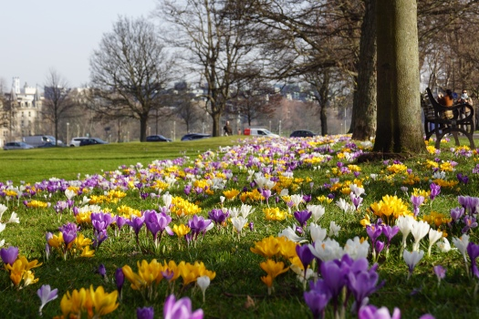 Beautiful crocus flowers highlight that spring is coming.